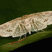 The Crambidae are the grass moth family of Lepidoptera (butterflies and moths).