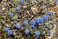 Mountain Forget-me Not (Eritrichium aretioides) in Denali National Park in Interior Alaska. Summer. Afternoon.