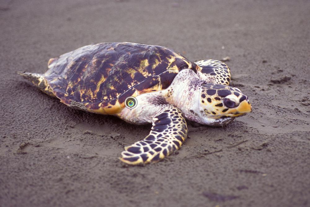 Cheloniidae eh a familia da ordem das tartarugas que inclui as tartarugas marinhas. O grupo eh constituido por seis generos e sete especies, todas elas ameacadas de extincao.As tartarugas marinhas habitam todos os oceanos, excepto o Oceano Antartico, em zonas de agua tropical e subtropical. A maioria das especies sao migratorias e vagueiam pelos oceanos, orientando-se com a ajuda do campo magnetico terrestre. A tartaruga de couro eh a maior especie, atingindo 2 metros de comprimento e 1,5 metro de largura, para 600 kg de peso./Sea turtles (Superfamily Chelonioidea) are turtles found in all the world's oceans except the Arctic Ocean. There are seven living species of sea turtles: flatback, green, hawksbill, Kemp's Ridley, leatherback, loggerhead and olive ridley. The East Pacific subpopulation of the green turtle has been classified as a separate species in the past as the black turtle. However, DNA evidence indicates that it is not evolutionarily distinct from the green turtle.All but the leatherback are in the family Cheloniidae; the leatherback belongs to the family Dermochelyidae and is its only member.
