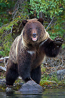 A grizzly bear wave!