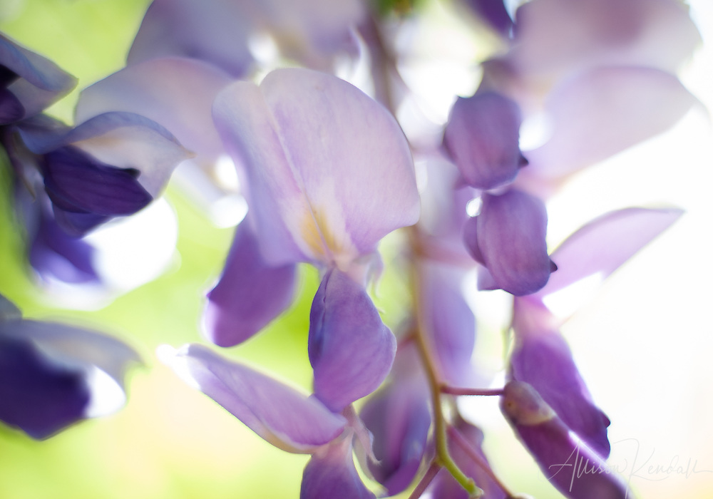 Close-up macro of soft purple, pink and green flowering wisteria vines in soft bright spring sunlight