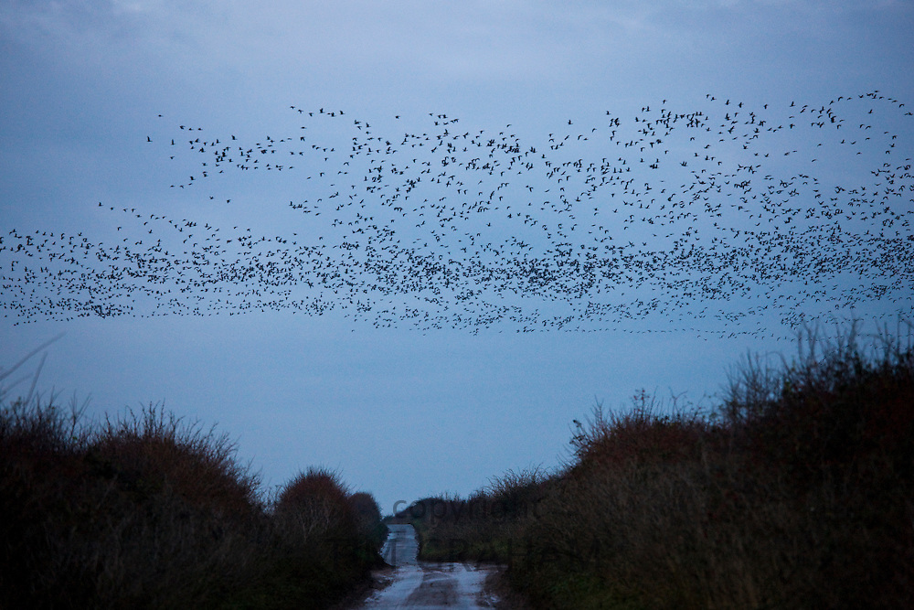 Pink-footed geese in the sky at sunset at Burnham Thorpe near  Holkham, North Norfolk, UK