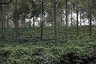 Coffee trees growing in a coffee cooperative in Sarchi, Costa Rica. Photograph by Dennis Brack