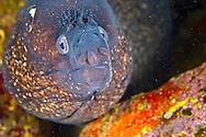 Alberto Carrera, Moray eel, Cabo Cope-Puntas del Calnegre Natural Park,Mediterranean Sea, Region de Murcia, Murcia, Spain, Europe