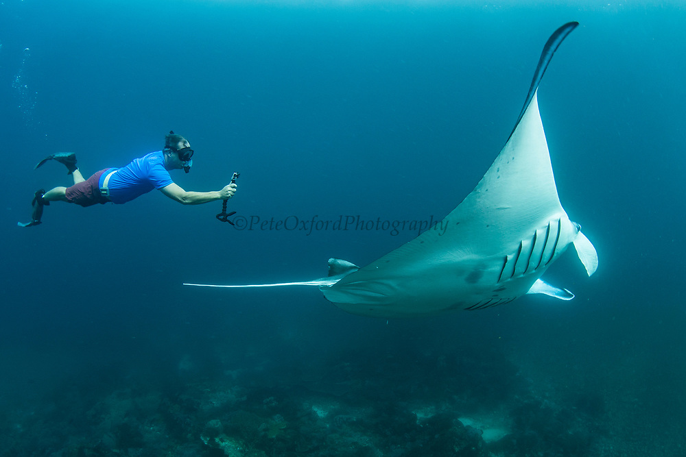 Giant Manta Ray (Manta birostris)<br /> Lesser Sunda Islands<br /> Indonesia<br /> Kip Evans