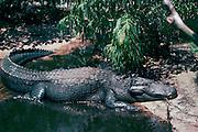 American Alligator<br />