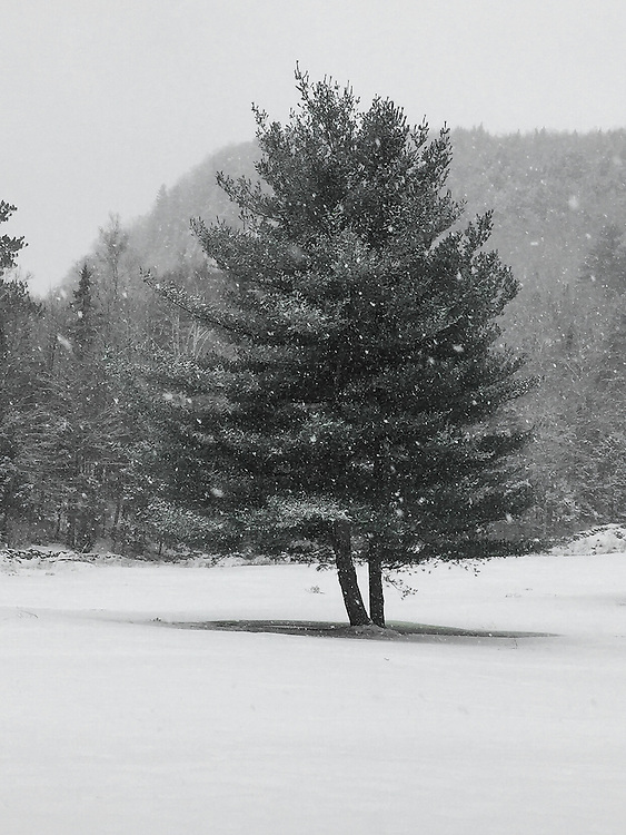 A beautifully shaped tree during a snowfall