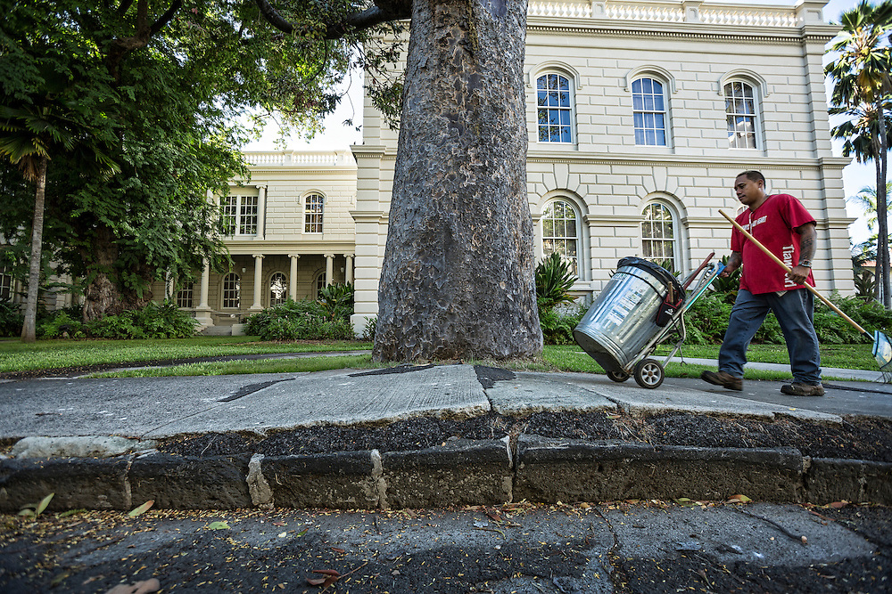 Landscape worker rolls uphill on sidewalk where growing Crowrie tree roots are unending the sidewalk outgrowing it's original home. ©PF Bentley