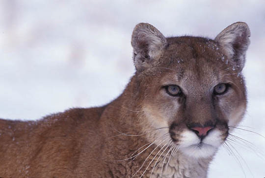 Mountain Lion or Cougar, (Felis concolor) Adult in Rocky mountains. Montana. Winter. Captive Animal.