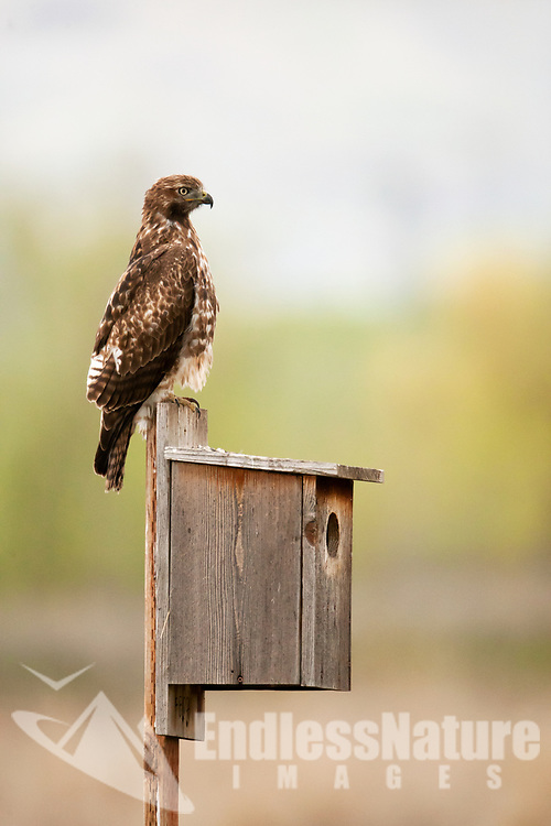 A Red Tailed Hawk perched and alert on top of a nesting box watching for mice in the field below the box.