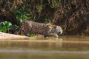 Jaguar<br /> Panthera onca<br /> Pantanal, Brazil
