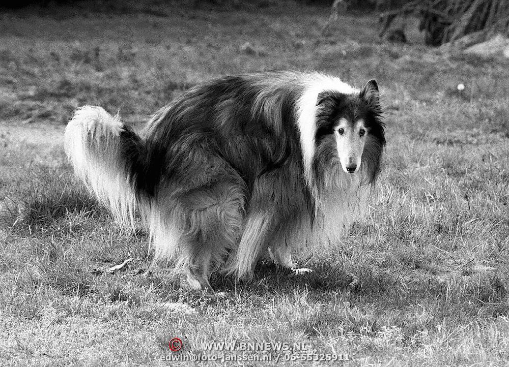 Hond Sarbon poepend op de hei in Bussum