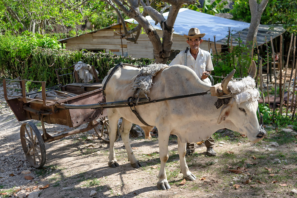 Man and ox in Charco Redondo, Granma, Cuba.