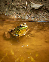 Kermit the Bullfrog in the Pond. Image taken with a Nikon 1 V3 camera and 70-300 mm VR lens