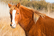 A Chincoteague pony (Equus caballus), also known as an Assateague horse, poses with a wind-blown mane in a marsh on Assateague Island in the Chincoteague National Wildlife Refuge in Virginia. About 300 wild — technically feral — ponies roam the island on the Atlantic coast. There is some dispute as to how the ponies ended up on the island. Some researchers believe the ponies are survivors of the wreck of a Spanish galleon, La Galga, which sank just off the coast in 1750; the U.S. Fish and Wildlife Service believes they are descendants of horses owned by early colonial settlers.