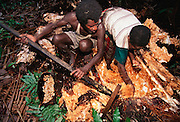 Villagers in the Asmat extract sago grubs from a rotted sago palm log. Sago grubs (Rhynchophorus ferrugineus, the larvae of Capricorn beetles), are extracted from the interior of a sago palm, Komor village, Irian Jaya, Indonesia. The Asmat is the world's largest (and hottest), swamp. When roasted on a spit, they are fatty and bacon-flavored, although the skins are rather chewy. Image from the book project Man Eating Bugs: The Art and Science of Eating Insects.