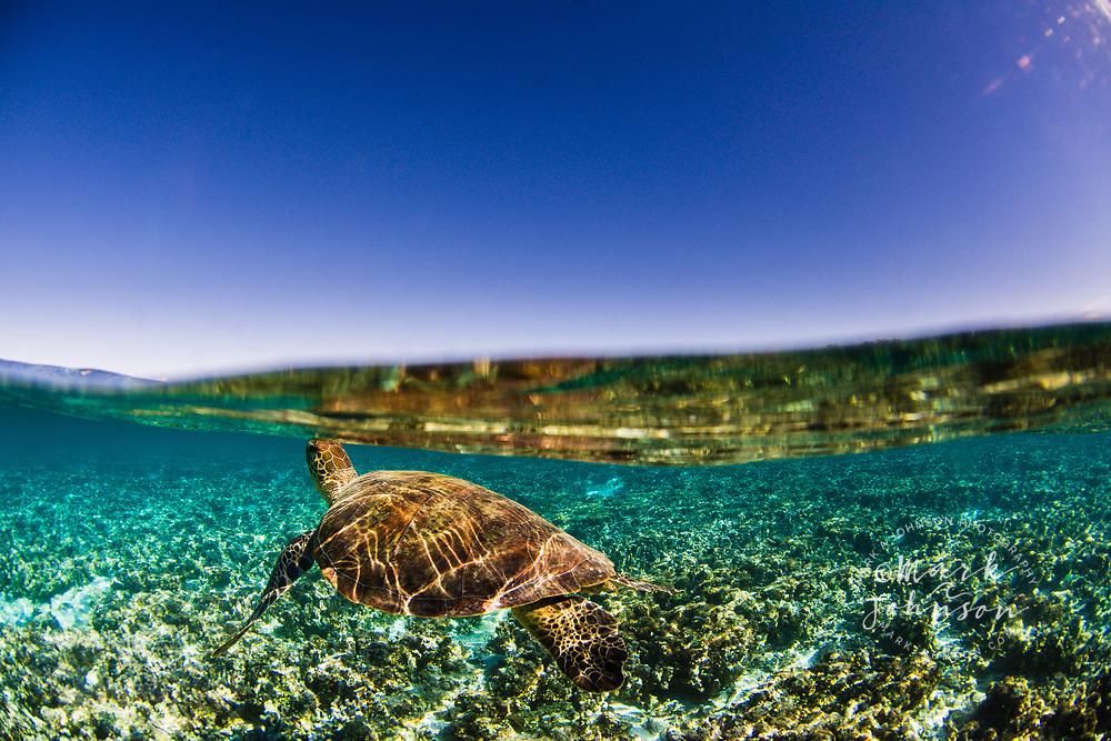 Green Sea Turtle underwater, Lady Elliot Island, Great Barrier Reef, Queensland, Australia