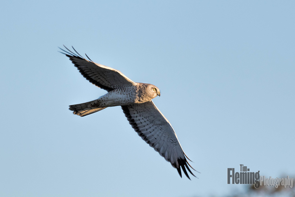 Northern Harrier  (Circus cyaneus) in a cloudless blue sky.