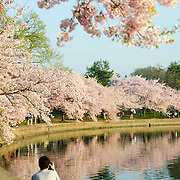 A photographer sits on the edge of the Tidal Basin to take a photo of the cherry blossoms lining the banks. The Yoshino Cherry Blossom trees lining the Tidal Basin in Washington DC bloom each early spring. Some of the original trees from the original planting 100 years ago (in 2012) are still alive and flowering. Because of heatwave conditions extending across much of the North American continent and an unusually warm winter in the Washington DC region, the 2012 peak bloom came earlier than usual.