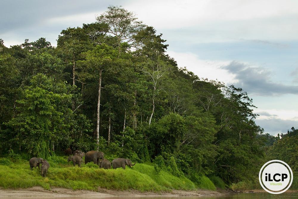 Borneo Pygmy Elephant (Elephas maximus borneensis) herd along river in secondary lowland rainforest, Kinabatangan River, Sabah, Borneo, Malaysia