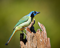 Green Jay at Dos Vandas Ranch in Southern Texas. Image taken with a Nikon D3x Camera and 600 mm f/4 VR lens (ISO 180, 600 mm, f/4, 1/1250 sec).