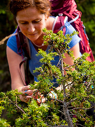 Women hiker collecting juniper berries in meadow at Hilsenfirst, France