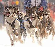 The lead dogs of Fergus Falls, MN resident Carolyn Johnson's sixteen dog unlimited team head into the first turn at the start of Saturday racing action at the 2010 Kalkaska Winterfest.