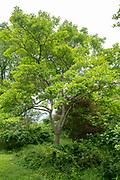 college green, Mapp Athens, Tree Tour, sassafras