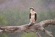 Osprey (Pandion haliaetus) sat on feeding perch, Cairngorms National Park, Scotland.