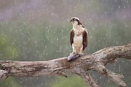 Osprey (Pandion haliaetus) sat on feeding perch, Cairngorms National Park, Scotland.