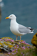 Herring Gull (Larus argentatus). Scotland. UK.