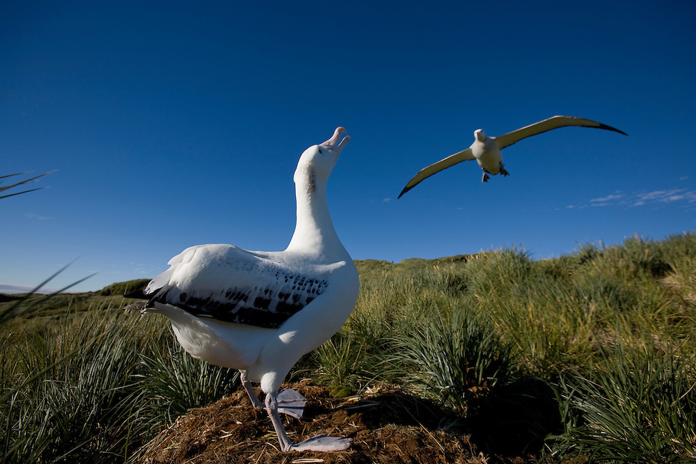 Antarctica, South Georgia Island (UK), Wandering Albatross (Diomedea exulans) flying above occupied nesting site on Prion Island