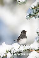 01569-014.03 Dark-eyed Junco (Junco hyemalis) on Blue Atlas Cedar (Cedrus atlantica 'Glauca') in winter, Marion Co.  IL