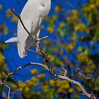 Alberto Carrera, Great White Egret, Egretta alba, Chobe River, Chobe National Park, Botswana, Africa