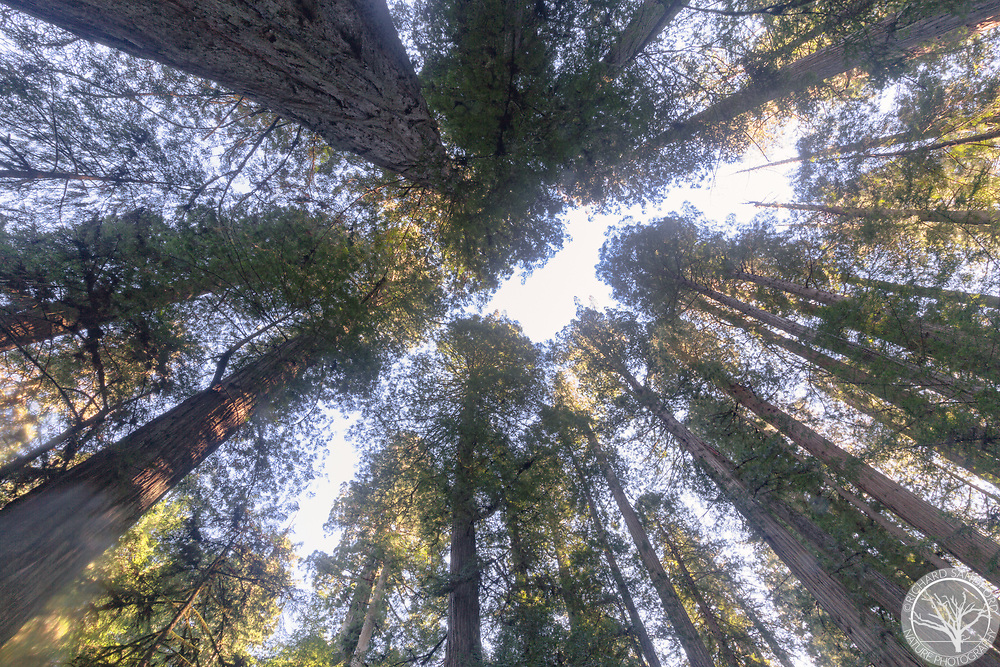 Redwoods reaching for the sky! Redwoods National Park, CA