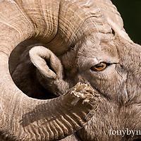 big wild rocky mountain big horn sheep