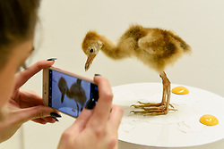 "© Licensed to London News Pictures. 31/03/2017. London, UK.  Taxidermy artist Elle Kaye takes a photo of her work called ""Oops (I Made It)"", 2017, a taxidermy baby crane.   Opening day of The Other Art Fair, presented by Saatchi Art, which runs until 2 April in Bloomsbury.  The fair is collection of artworks by 120 emerging artists selected by a committer of art experts including Lulu Guinness OBE, Kate Bryan, Head of Collections at Soho House Group, and Rebecca Wilson, Chief Curator of Saatchi Art. Photo credit : Stephen Chung/LNP"