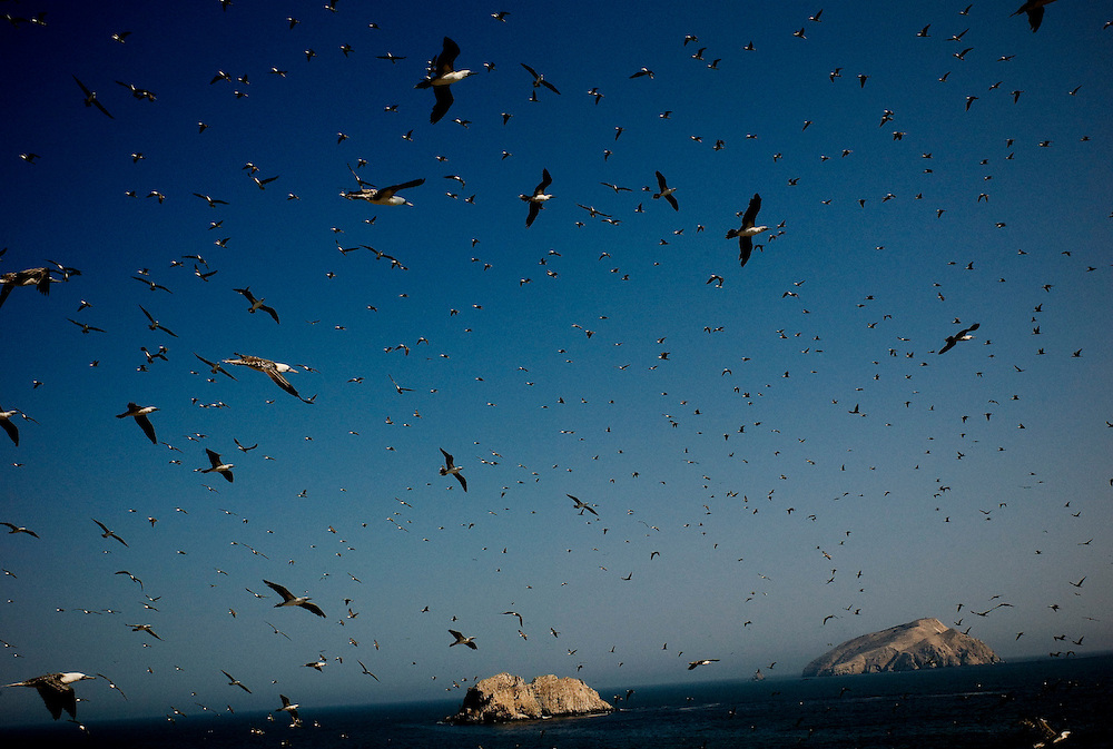 Sea birds, mostly Piqueros (Peruvian Booby) flying over Guañape Norte Island in the coast off Peru, April 2009.  The guano, bird dung used as an organic fertilizer has been collected for 150 years from the islands in the coast off Peru. Now, with bird´s population declining from 60 millions to 4 millions the collection of guano is coming to an end.