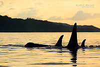 Killer whale pod at sunset in Johnstone Strait, British Columbia