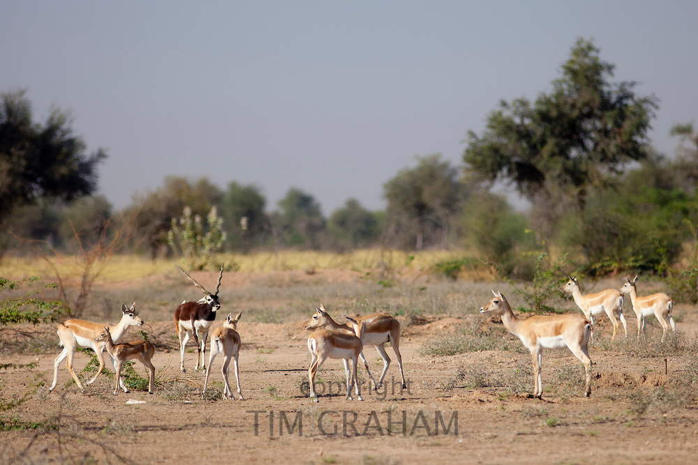 Blackbuck male antelope, Antilope cervicapra, with female hinds near Rohet in Rajasthan, North West India