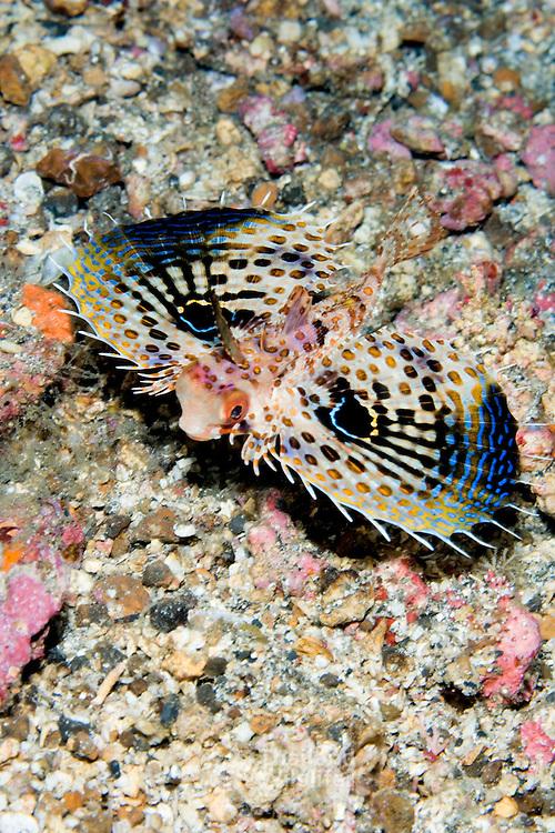 Juvenile Flying Gurnard Dactyloptena orientalis at Lembeh Straits, Indonesia.