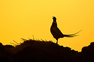 Common Pheasant (Phasianus colchicus) adult male, displaying on midden heap at dawn, South Norfolk, UK. April.