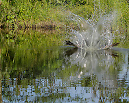 Water splashes as osprey dives at high speed into pond after fish, © 2015 David A. Ponton