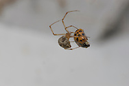Female Common House Spider (Achaearanea tepidariorum) with ladybug prey