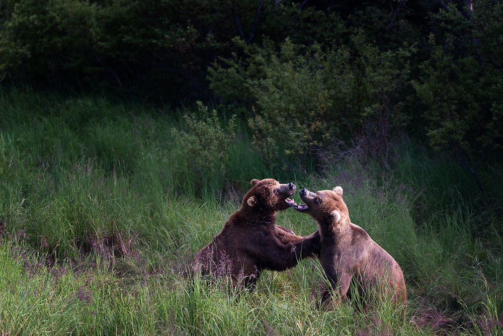 Brown bears engaging in play in a meadow at Katmai National Park, Alaska