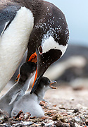 Gentoo penguin (Pygoscelis papua) feeding its juveniles at Saunders Island, the Falklands.
