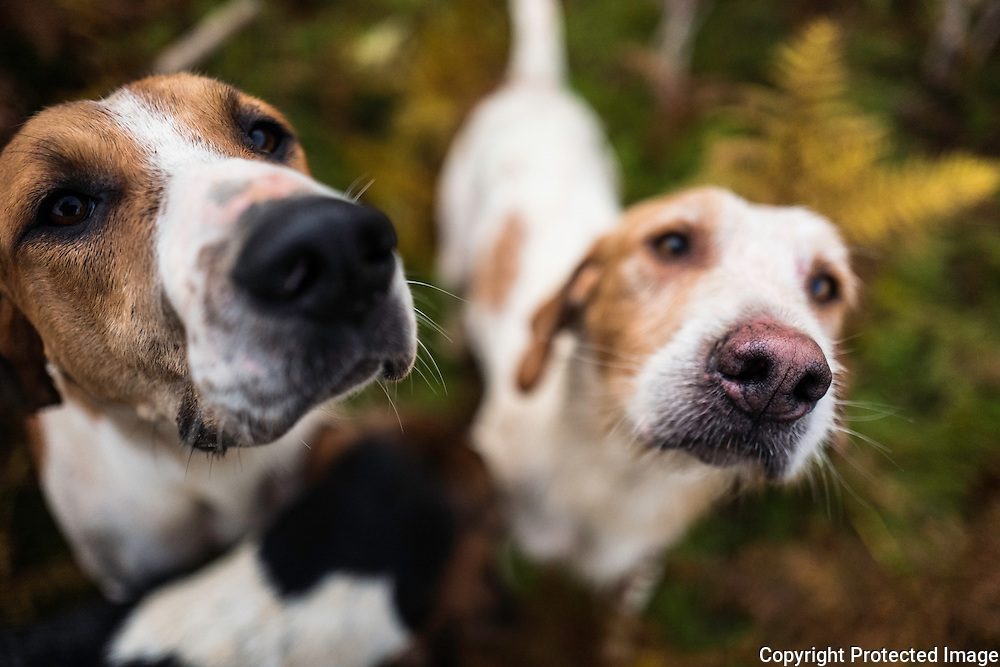 Dancer (l) and Maverick. A foxhound of the Jedforest Hunt.