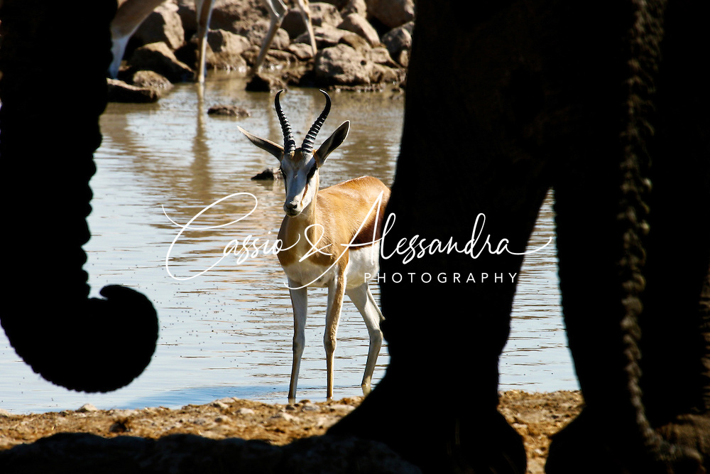 Peace is broken when elephants get to the waterhole. Springboks, gemboks and other animals open space for the heavy-weight fellows. The elephants approach carefully to the spot, but all wildlife around cannot just ignore it. The springbok looks surprised: Whose shadow is this?