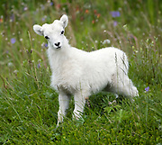 Dall Sheep (Orvis dalli) lamb standing in a summer meadow in the mountains along Turnagain Arm, Chugach State Park.