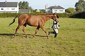 Class 01 - Inhand Hunter Type & Riding Horse